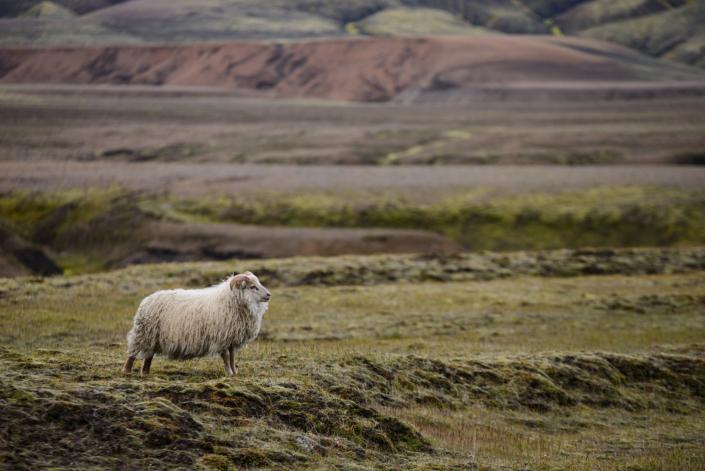Mouton en Islande